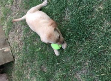 Labrador pedigree (pure bred) puppy golden