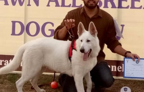Very Rare Microchip Pedigreed White German Shepherd  (Beauty Contest Winner in Puppy Category)