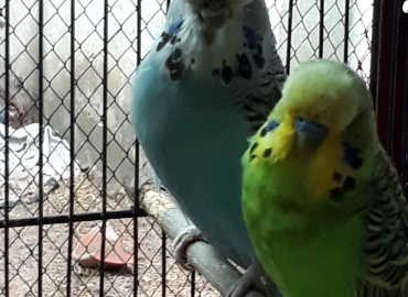 95 Breeder pairs of Exhibition Budgie parrots for sale