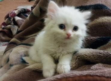 Persian White Cat Baby