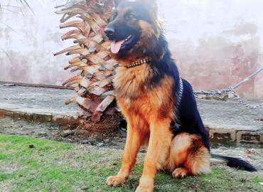 German Shepherd (MAX)