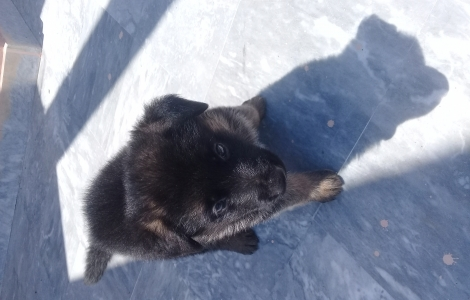 King sized GERMAN SHEPHERD MALE PUP