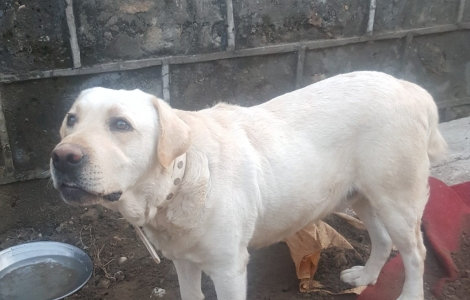 Trained Labrador for sale