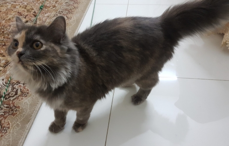 Very Cute Persian Cat (Female)