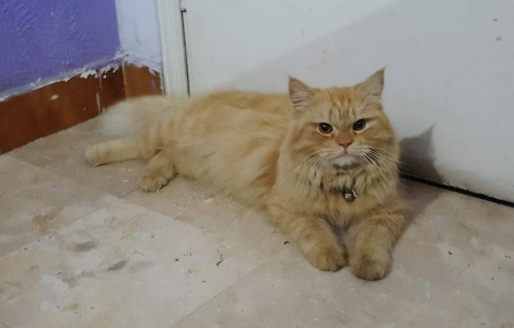 Persian (Semi Punch) - Buy & Sell Pets - A Complete Petshop in Pakistan