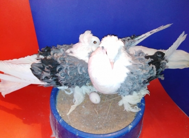 Blue Saddle frill breeder / Banded pair for sale