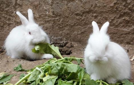 Angora Rabbits