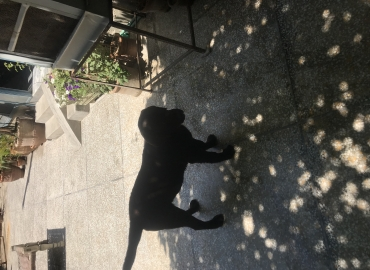 Choclate Lab for sale