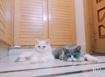 Persian double cated pair