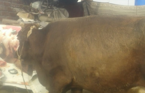 Cow for sale