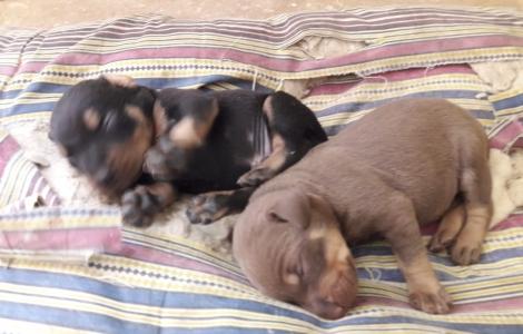 Doberman puppies 3