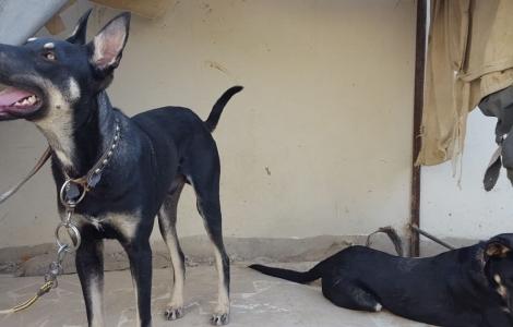 Doberman - Buy & Sell Pets - A Complete Petshop in Pakistan