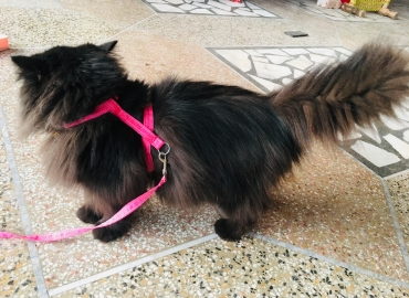 Persian cat puch face triple coated female