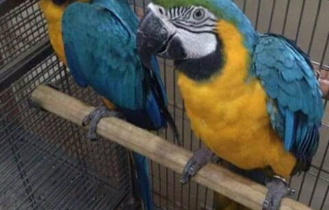 Cockatoo - Buy & Sell Pets - A Complete Petshop in Pakistan