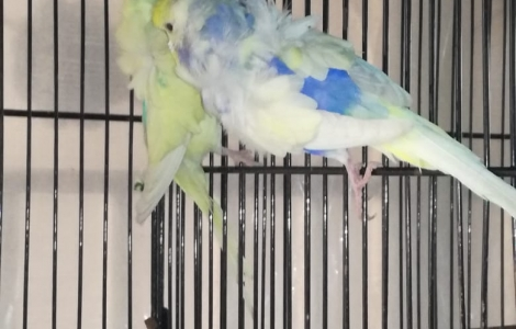 Pied Hagoromo Budgies Buy Online Here