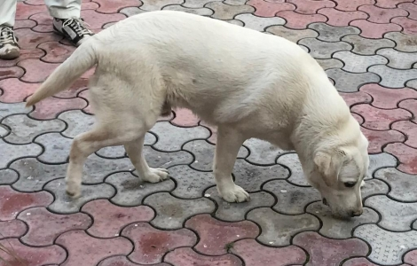 pedigree labrador for sale