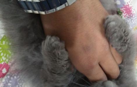 Persion kitten