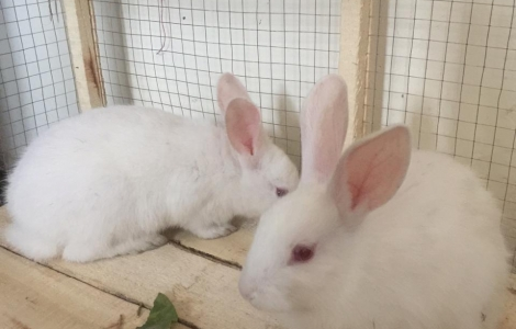 A pair of white rabbits with a large cage