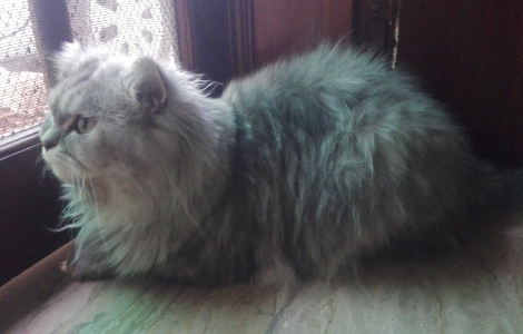 Persian cat male