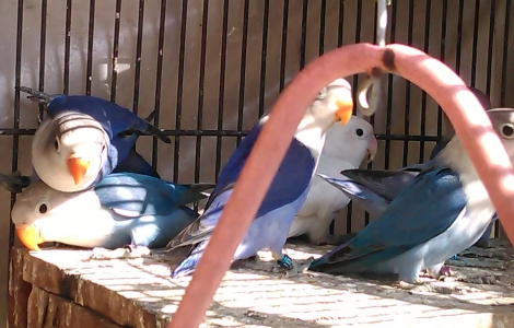 Extremely Beautiful  Sable Lovebirds (Violet) available for sale.