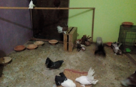 Fancy pigeons for sale