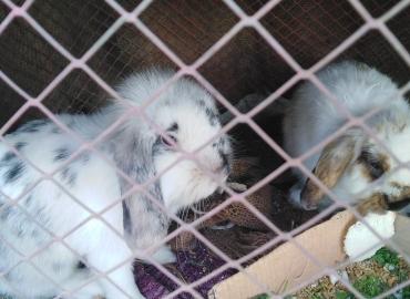 Lionhead loop Rabbits