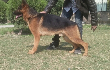 German Shepherd padegre