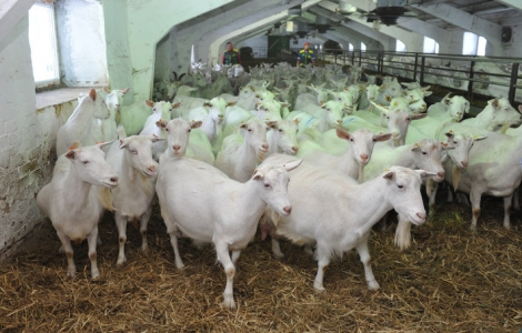 Strong Healthy High Milking Saanen Goats for sale worldwide.