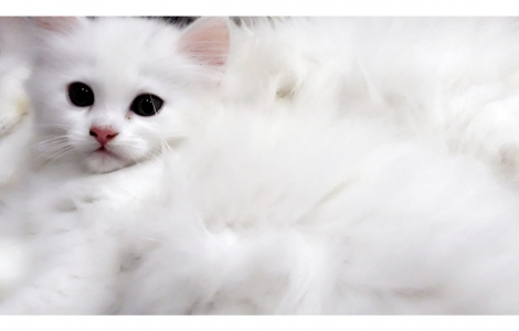 Cats for Sale in Pakistan | Buy Cats Online | Pet Shop