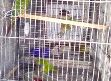 Green cheek and cinnamon conure breeding pair
