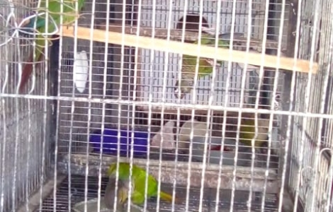Green cheek and cinnamon conure breeding pair