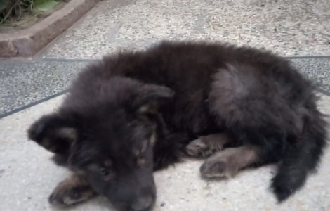 Belgium Shepherd Male Puppy