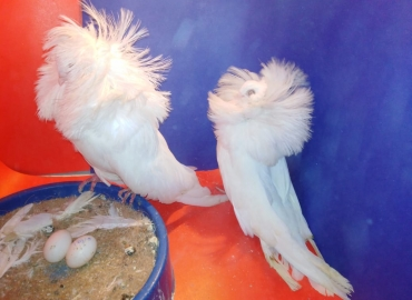 White Jacobin Breeder pair for sale