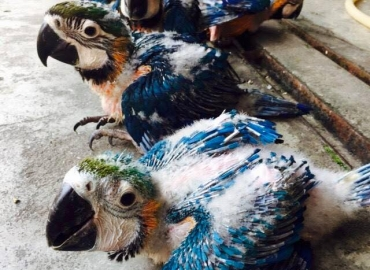 Adorable macaw blue and gold babies with all checks