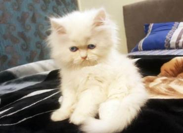 Punch Face Kittens