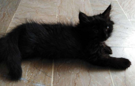 Persian Black Kitten
