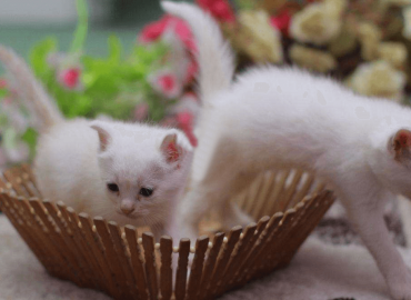 3 Persian kittens white semi punched
