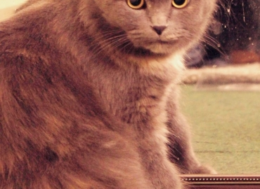Female Persian cat for sale